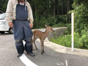 熊本県阿蘇市の野生の子鹿の写真