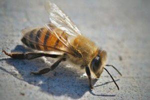 アフリカナイズドミツバチの写真