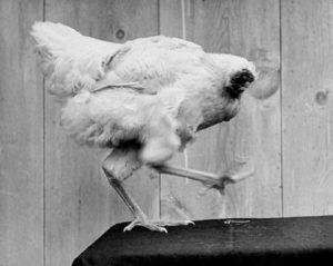 首なし鶏マイクの写真