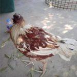 タイの首なし鳥の写真