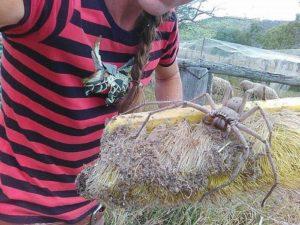 巨大アシダカグモの写真